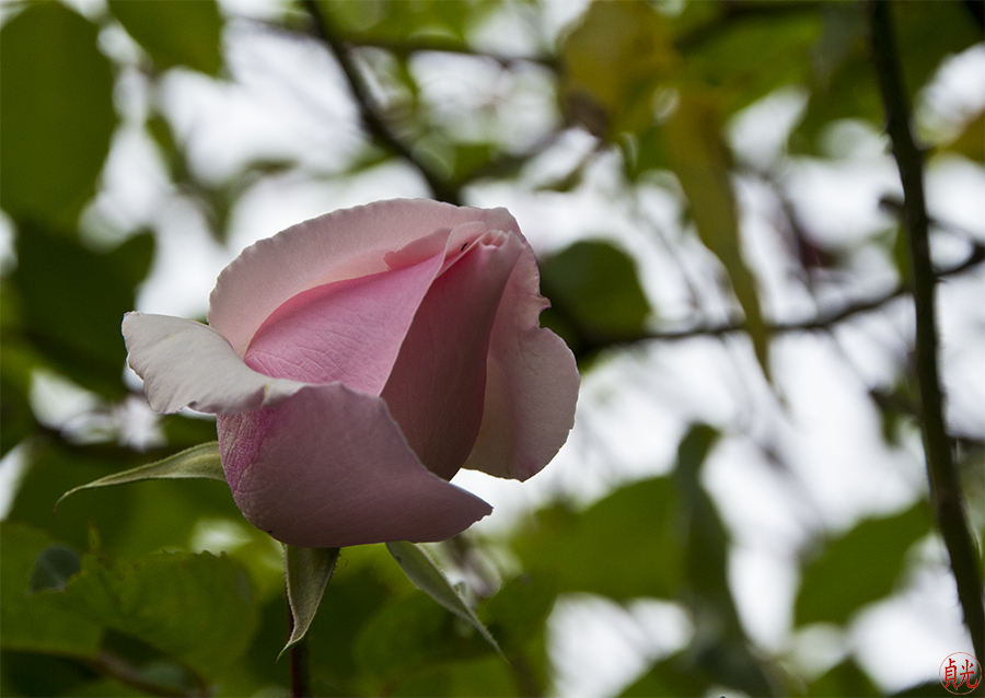 Open Heart of the Rose